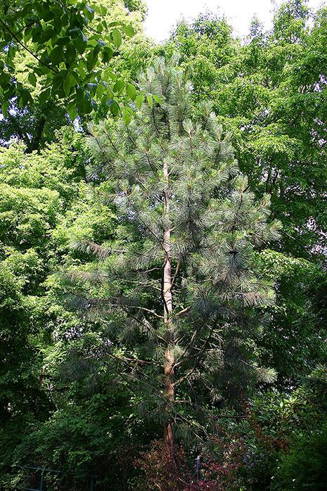 NEIKER recomienda no utilizar fertilizantes nitrogenados en las plantaciones de pino